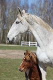 Big horse with pony friend Stock Photos