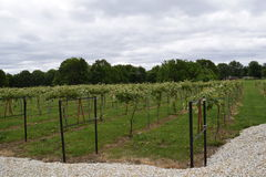 Big horse vineyard. Visiting The horse vineyards in Lewistown Illinois Royalty Free Stock Photos