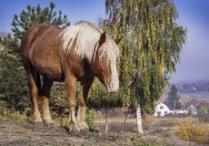 Big horse with a white mane stands on the background of yellow trees. In autumn royalty free stock images