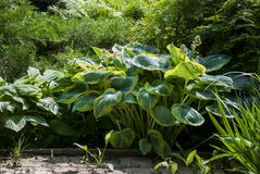 Big hosta in full sun royalty free stock photos