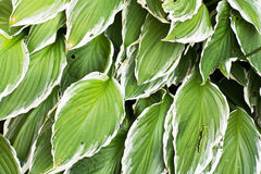 Big hosta or funkia leaves Stock Photos