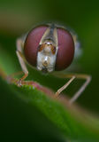 Big Hoverfly eyes Stock Images
