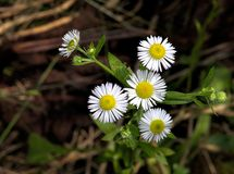 Big Hug From Fleabane. Fleabane that looks like it has outstretched hands, ready to give a big hug Stock Photos