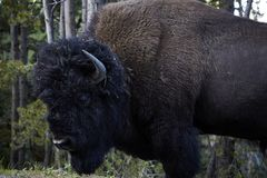 Big huge bison buffalo bull standing closeup stock images