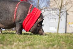 Big / huge cute pig on the long walk in the park / botanic garde Royalty Free Stock Photos