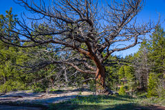 A big, huge dead tree in the woods, with a blue sky and green forest background. Branches of a giant dead tree. Vedauwoo National Stock Image