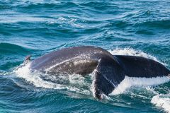 Big Humpback whale diving and showing his tail near husavik. On iceland Stock Photos