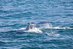 Big Humpback whale diving and showing his tail near husavik. On iceland Royalty Free Stock Photos