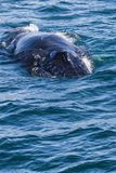 Big Humpback whale getting ready to dive near husavik. On iceland Royalty Free Stock Photography