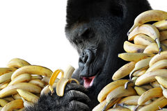 Big hungry gorilla eating a healthy snack of bananas for breakfast. Isolated on a white background Royalty Free Stock Photography