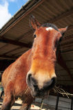 Big hungry horse. A heavy horse feeding in a barn stable Royalty Free Stock Images