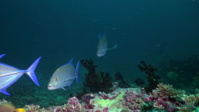 Big hungry tuna in search of food at night on reef stock footage