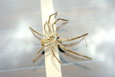 Big huntsman spider Royalty Free Stock Photos