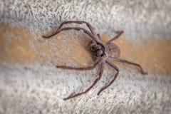 Big Huntsman Spider closeup. Stock Images