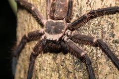 Big huntsman spider on tree Madagascar Royalty Free Stock Photo