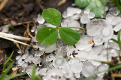 Big ice hail on green grass and escaped leaf of clover. Environmental problems Royalty Free Stock Photography