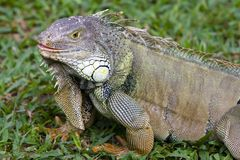 Big Iguana Stock Photography