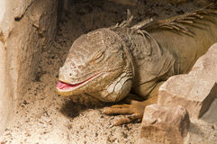 Big iguana Royalty Free Stock Images