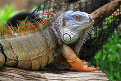 Big iguana Stock Photos