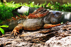 Big iguana Stock Image