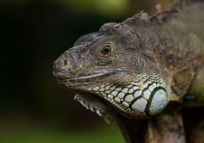 Big iguana Royalty Free Stock Image