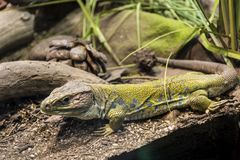 Big iguana Royalty Free Stock Images