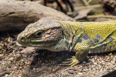 Big iguana Stock Photo