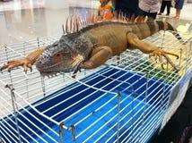 Big iguana. Royalty Free Stock Photography