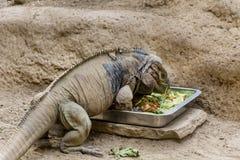 Big iguana eating Stock Photos