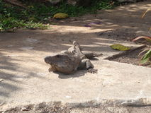 Big iguana. Large iguana laying on path Royalty Free Stock Images