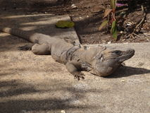 Big iguana. Large iguana laying on path Royalty Free Stock Photo