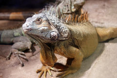 Big iguana lizard Royalty Free Stock Photos