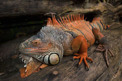 The big iguana lizard lies on the old tree trunk, Balinese dragon, gray head color, orange skin, huge claws on paws, white maces o Royalty Free Stock Photos