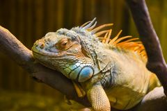 Big iguana lizard in terrarium Royalty Free Stock Photo