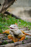 Big Iguana in the park. Stock Photos