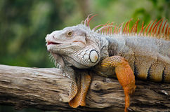 Big Iguana in the park. Stock Photo