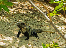 Big iguana on the sand Stock Photography
