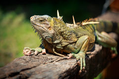 Big iguana sits on a branch in the tropics Royalty Free Stock Images
