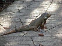 Big iguana. Royalty Free Stock Image
