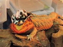 Big iguana. Stock Photo