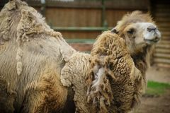 Big important brown shaggy camel. Big important brown shaggy two-humped camel in the stall at the zoo royalty free stock photos