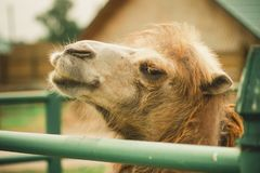 Big important brown shaggy camel. Big important brown shaggy two-humped camel in the stall at the zoo royalty free stock photography