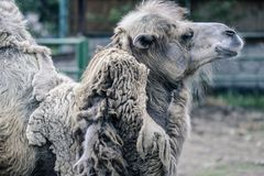 Big important brown shaggy camel. Big important brown shaggy two-humped camel in the stall at the zoo stock image