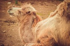 Big important brown shaggy camel. Big important brown shaggy two-humped camel in the stall at the zoo stock photo