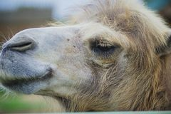 Big important brown shaggy camel. Big important brown shaggy two-humped camel in the stall at the zoo royalty free stock images