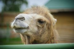 Big important brown shaggy camel. Big important brown shaggy two-humped camel in the stall at the zoo stock photography