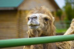 Big important brown shaggy camel. Big important brown shaggy two-humped camel in the stall at the zoo royalty free stock photo