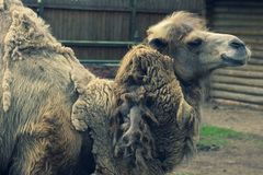 Big important brown shaggy camel. Big important brown shaggy two-humped camel in the stall at the zoo stock images