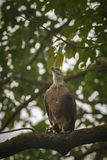 Big indian fish eagle sitting on a tree and wait Royalty Free Stock Image