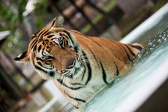 Big Indo-China tiger in the pool. Adult Indo-China tiger in the pool stock images